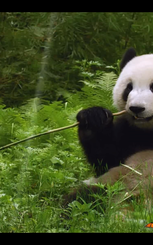 Panda New Tab for Google Chrome